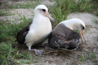 After returning from foraging at sea on November 29, 2012, Wisdom (left) attempts to nudge her mate off the nest for her turn at incubating the couple's egg.