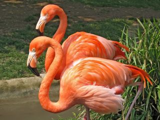 A pair of bright pink flamingos.