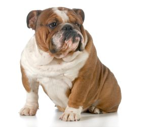 An English bulldog