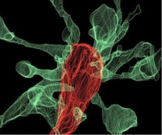 "An image showing microglia (red) ""eating"" a synapse. The green projections, called filopodia, are sent out by the synapse to contact the microglia cells."