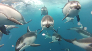 This dolphin pod was allegedly filmed trailing a fishing boat using an underwater Go Pro camera.
