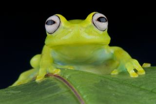 close-up of the face of a glass frog.