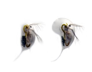 The water flea Daphnia longicephala in two different forms.