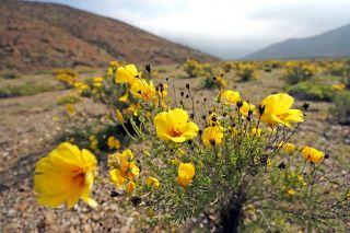 Atacama flower