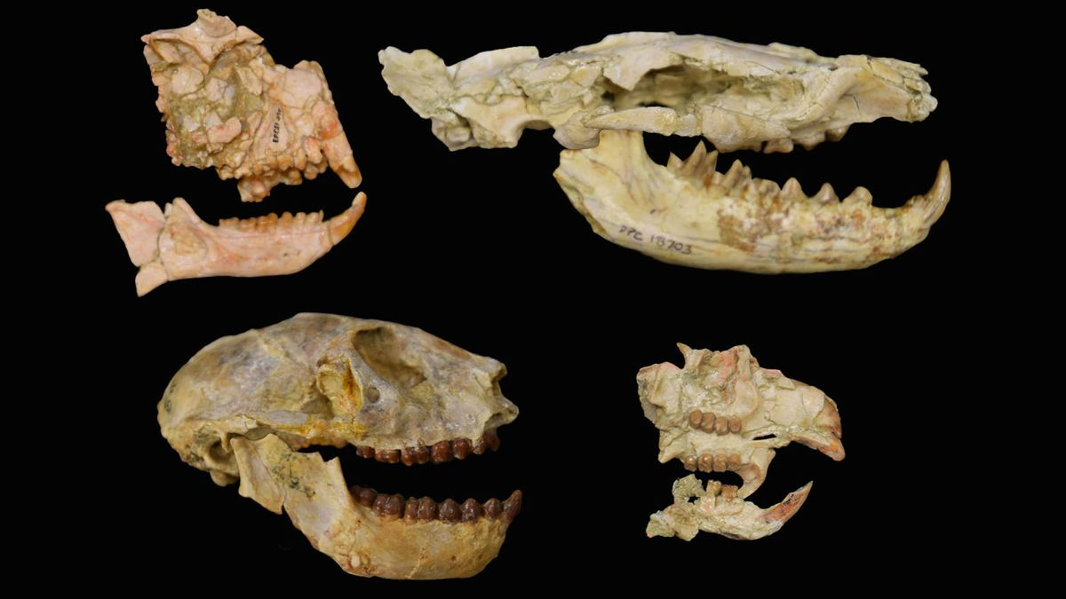 'Lost extinction,' uncovered for the first time, claimed more than 60% of Africa's primates