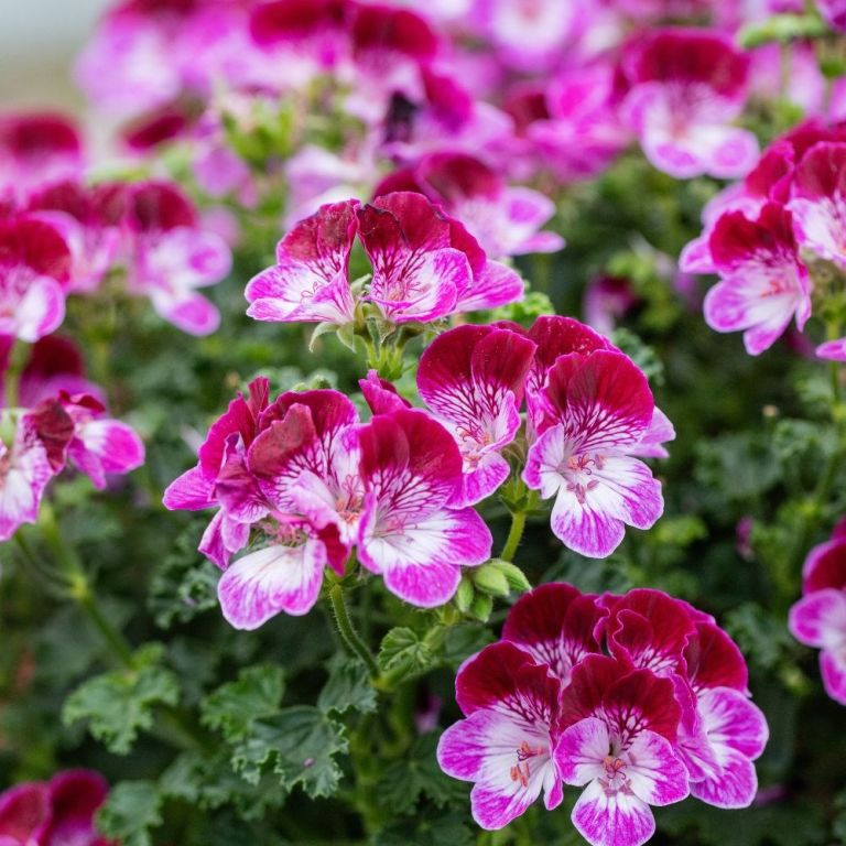 easy flowers to grow: Pelargonium 'Tip Top Duet'