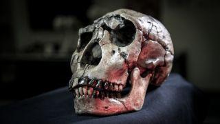 Homo ergaster Skull