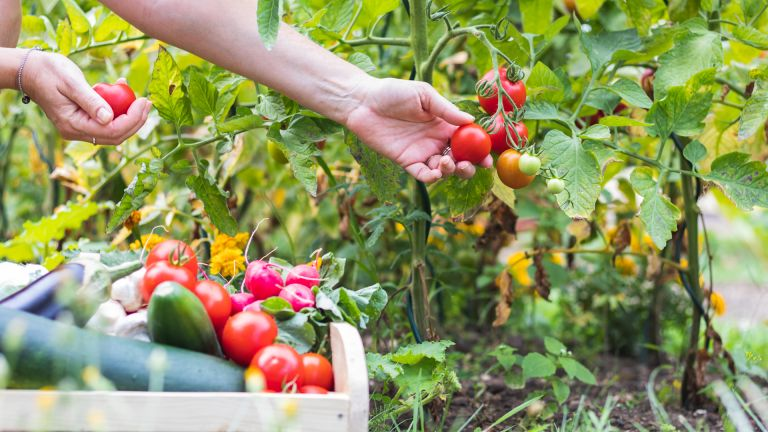 Tomato companion planting – tomatoes with flowers and veg