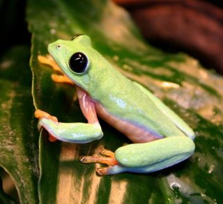 Hybrid leaf frog Do Not Republish This Photo