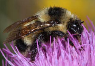 Cockerell's Bumblebee