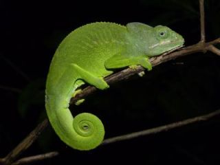 Mayotte chameleon from the Comoros islands