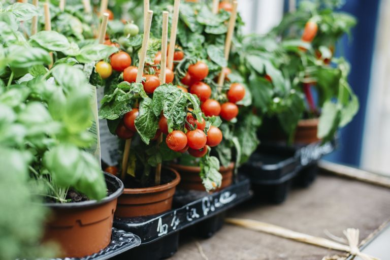 when to plant tomatoes: tomatoes growing in pots