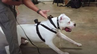A dogo argentinos straining on his leash