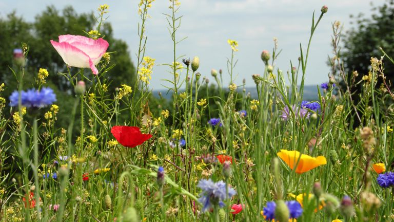 pretty wildflower meadow in bloom