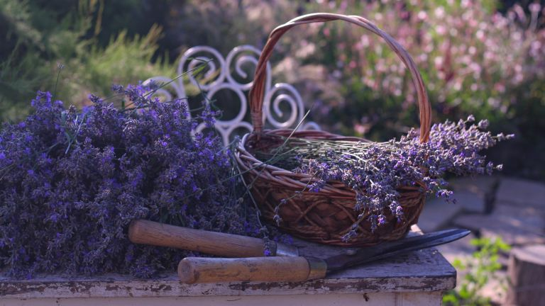 how to prune lavender: lavender in basket with shears