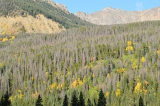 A forest along a Colorado Stream where pine beetles have been