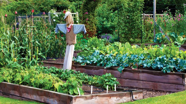 Scarecrow protects crops in raised garden beds