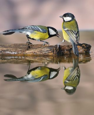 Scientists used a new analytical technique to study the social networks of great tits (<em>Parus major</em>) like these.