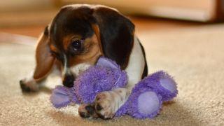 Beagle playing with a purple teddy bear