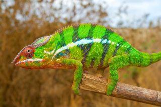 Chameleons' Color-Changing Secret Revealed | Live Science