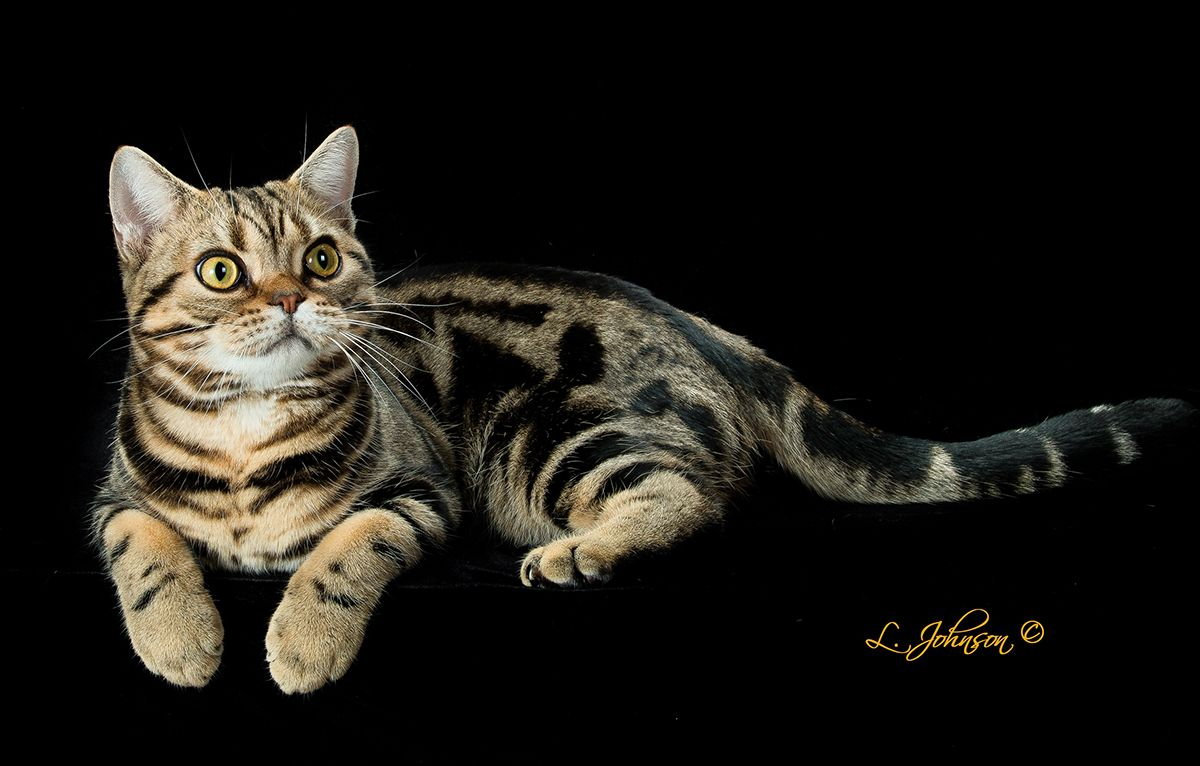 Feline Purr-fection: What Makes a Cat Best of Breed? | Live