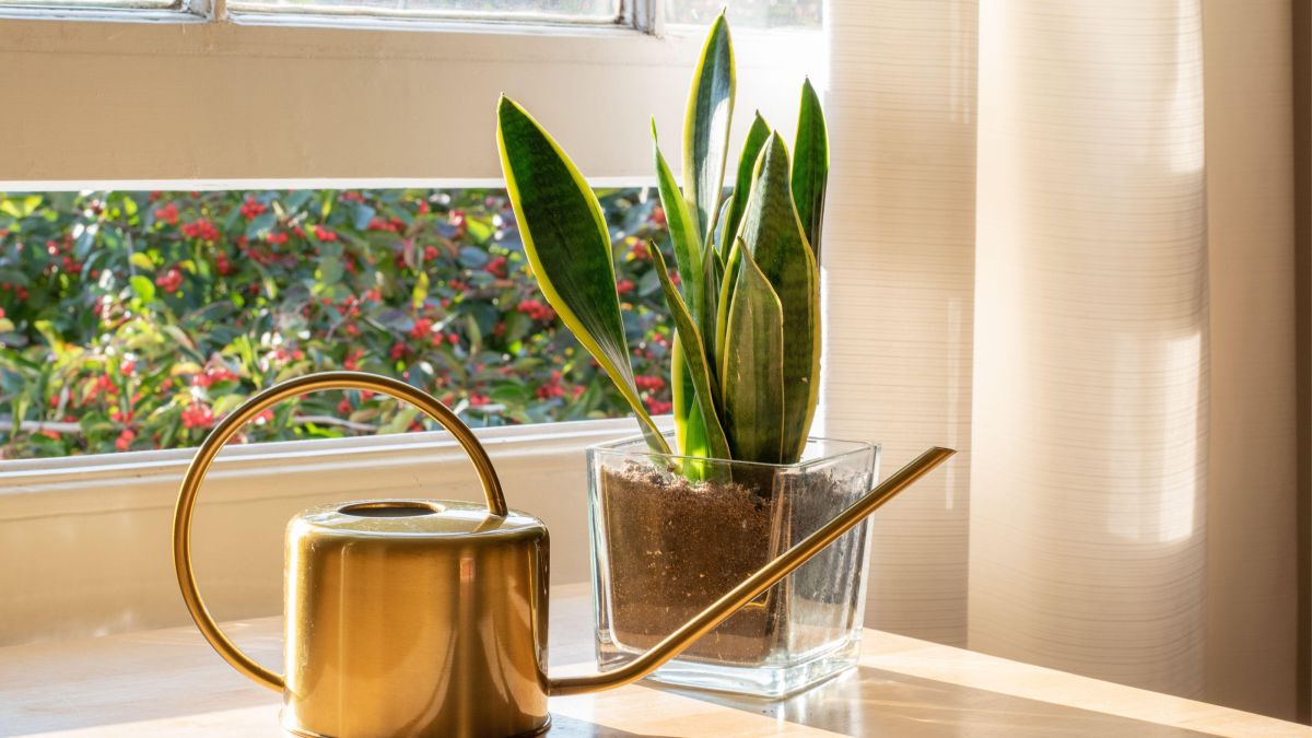 Houseplant clinic: why is my snake plant falling over?