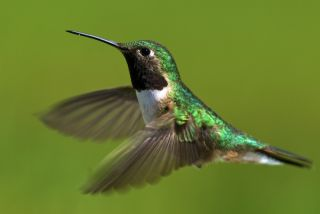 Broad-tailed hummingbird male.