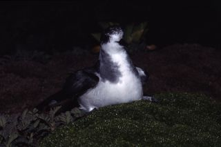 Petrel at night
