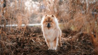 Chow Chow facts