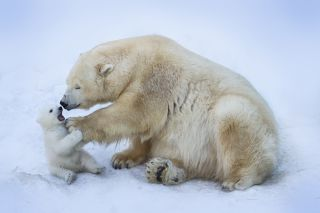 Polar bear mom with baby.