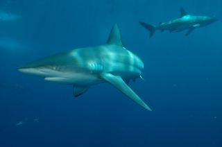 Blacktip whaler shark, shark fishing, endangered species
