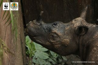 The female Sumatran rhino was captured in Kalimantan, the Indonesia part of Borneo.