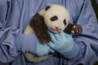 giant panda cub, cute baby animals, San Diego Zoo