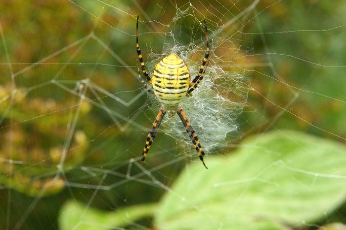 Garden Spiders: Weavers of Delicate Webs | Live Science