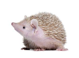 Lesser hedgehog tenrec