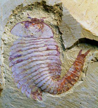 Fuxianhuia fossil