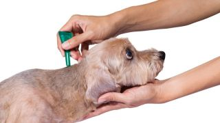 Flea medicine treatment