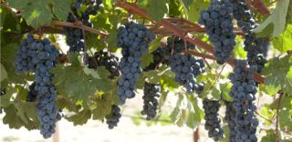 Genetically modified wine grapes