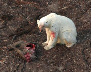 polar bear eats caribou