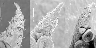 Microscopy images showing the mysterious Kölliker's organs extending and blooming from a young octopus' arm