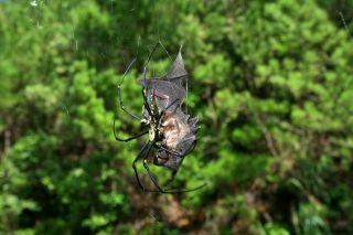 bat-eating spider