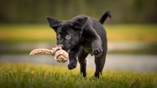 Black labrador puppy sprinting across the grass after one of the best DIY puppy toys