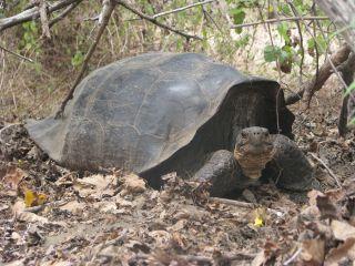 Hybrid giant tortoise