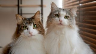 Shot of two Norwegian Forest Cats stood side by side indoors, one of the largest cat breeds