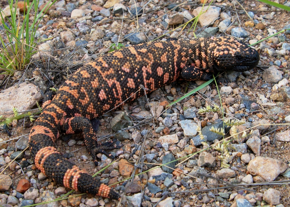 Facts About Gila Monsters | Live Science