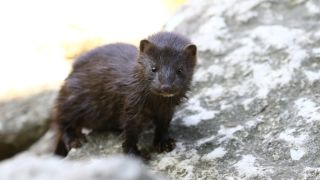 north american mink on a rock