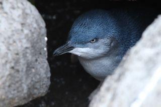 A suspicious penguin