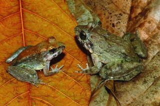 Sulawesi fanged frog