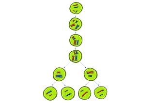 In meiosis chromosomes are copied, paired up and separated to create eggs or sperm.