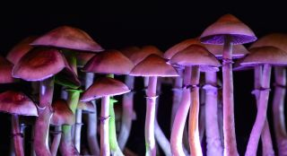 magic mushrooms, shrooms